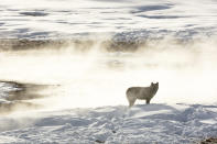 This Jan. 24, 2018, photo released by the National Park Service shows a wolf from the Wapiti Lake pack silhouetted by a nearby hot spring in Yellowstone National Park, Wyo. Wolves have repopulated the mountains and forests of the American West with remarkable speed since their reintroduction 25 years ago, expanding to more than 300 packs in six states. (Jacob W. Frank/National Park Service via AP)