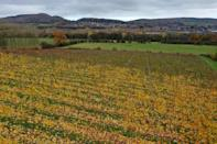 Rows of grape vines at Haygrove Evolution's Sixteen Ridges Winery in Ledbury, where the soil of a relatively dry climate allows the vines to dig their roots deep into the earth