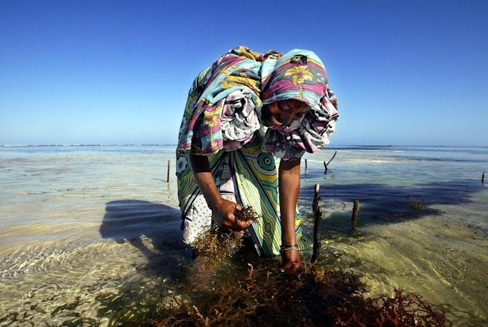 Started at the beginning of the 1990s, seaweed farms have become a source of revenue for thousands of women on the island of Zanzibar (AFP Photo/Marco Longari)