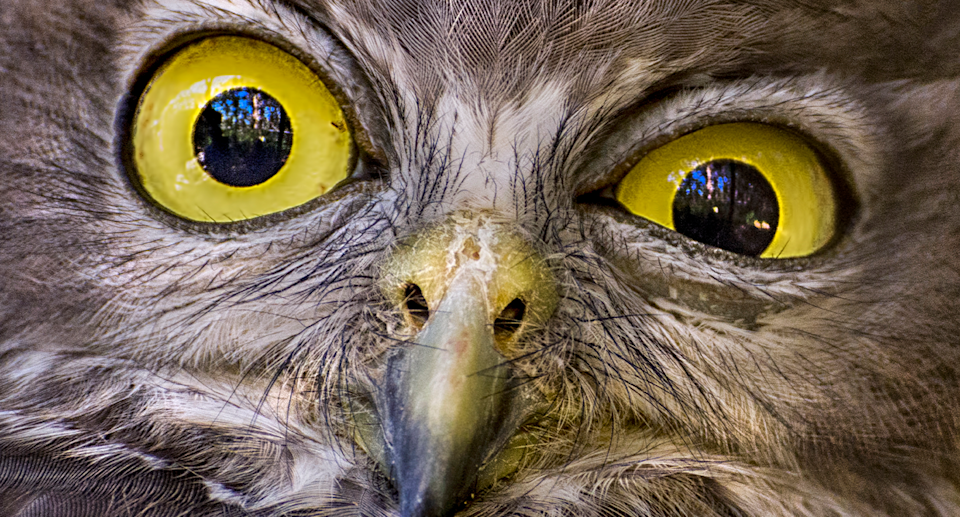 Predatory birds are known to become sick after eating baited mice. Source: Getty / File