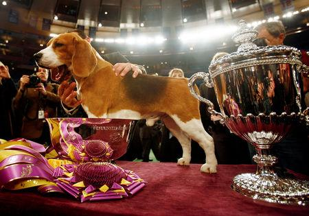 FILE PHOTO: Uno, a 15-inch beagle, stands after winning Best in Show at the 132nd Westminster Kennel Club Dog Show at Madison Square Garden in New York, U.S. February 12, 2008.  REUTERS/Shannon Stapleton/File Photo