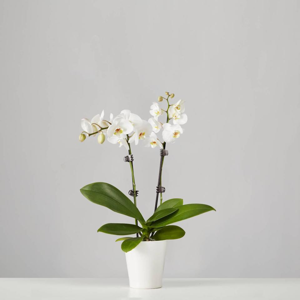"""<h2>White Orchid</h2><br><strong>Why She'll Love It</strong><br>Orchids aren't the unofficial mom-plant mascot for nothing — these flowering plants are lovely, serene, and serve as natural carbon-dioxide absorbers, making them the ideal atmosphere enhancer. <br><br><strong>Care</strong><br>This beauty thrives in soft indirect sunlight with a weekly three-cube ice watering and a climate temperature between 65 to 85 degrees. <br><br><em>Shop</em><strong><em> <a href=""""https://www.plants.com/c/mothersday-plants"""" rel=""""nofollow noopener"""" target=""""_blank"""" data-ylk=""""slk:Plants.com"""" class=""""link rapid-noclick-resp"""">Plants.com</a></em></strong><br><br><strong>Plants.com</strong> Small Phalaenopsis Orchid: White, $, available at <a href=""""https://go.skimresources.com/?id=30283X879131&url=https%3A%2F%2Fwww.plants.com%2Fp%2Fsmall-phalenopsis-orchid-white-157693"""" rel=""""nofollow noopener"""" target=""""_blank"""" data-ylk=""""slk:Plants.com"""" class=""""link rapid-noclick-resp"""">Plants.com</a>"""