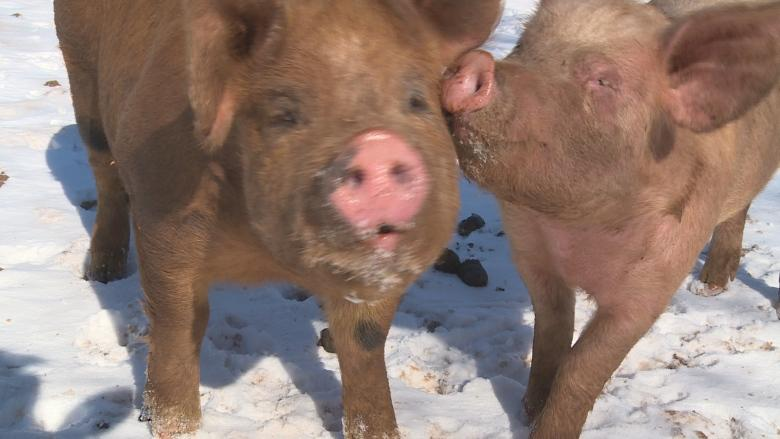 'A victory for pigs': Activists applaud P.E.I. pig scramble decision