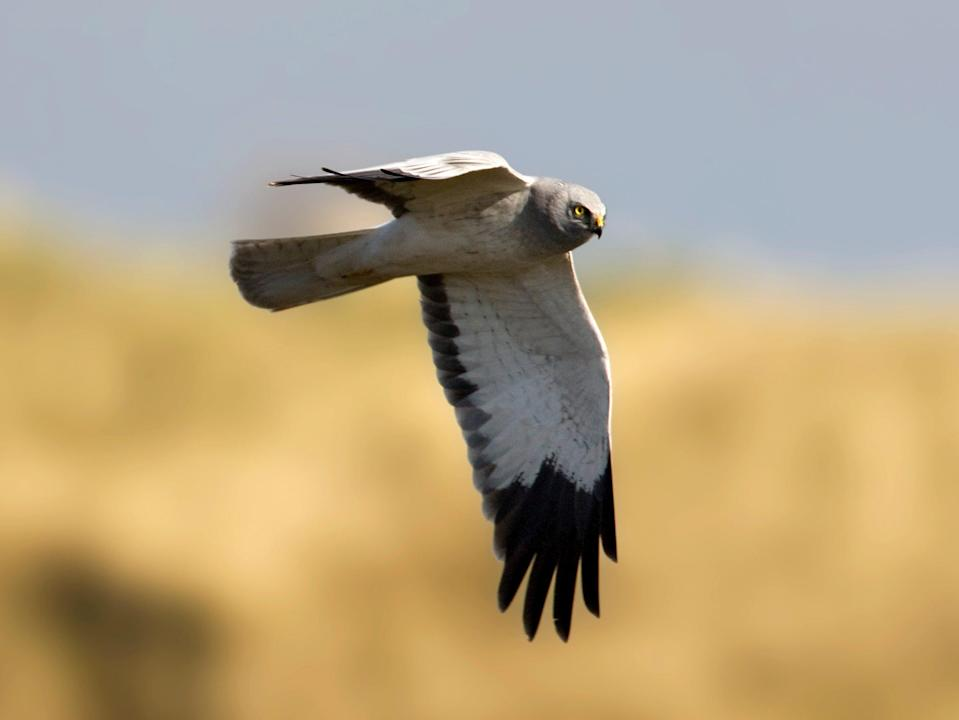 A male hen harrier in the Netherlands. At least 56 hen harriers have been illegally killed or have disappeared in the UK since 2018 (Getty)