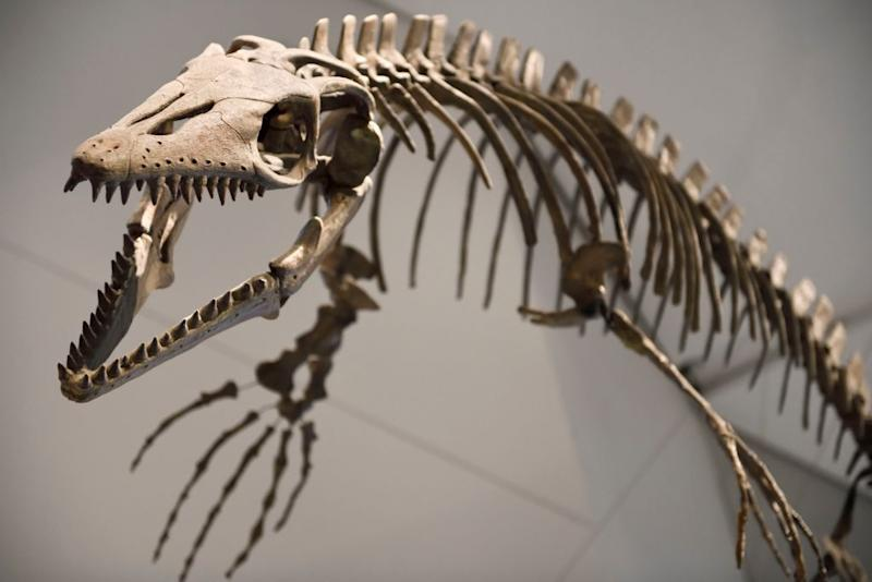 An 83 million-year-old mosasaur fossil from Kansas (Picture: Getty)