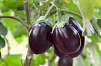 """<p>Eggplant season starts in the summer and continues through early fall. Embrace <a href=""""https://www.thedailymeal.com/baked-eggplant-parmesan-recipe?referrer=yahoo&category=beauty_food&include_utm=1&utm_medium=referral&utm_source=yahoo&utm_campaign=feed"""" rel=""""nofollow noopener"""" target=""""_blank"""" data-ylk=""""slk:eggplant parmesan"""" class=""""link rapid-noclick-resp"""">eggplant parmesan</a>, the ultimate fall comfort food. Eggplant is also delicious <a href=""""https://www.thedailymeal.com/recipe/mashed-charred-eggplant?referrer=yahoo&category=beauty_food&include_utm=1&utm_medium=referral&utm_source=yahoo&utm_campaign=feed"""" rel=""""nofollow noopener"""" target=""""_blank"""" data-ylk=""""slk:when mashed and charred"""" class=""""link rapid-noclick-resp"""">when mashed and charred</a> or <a href=""""https://www.thedailymeal.com/recipes/eggplant-tomato-casserole?referrer=yahoo&category=beauty_food&include_utm=1&utm_medium=referral&utm_source=yahoo&utm_campaign=feed"""" rel=""""nofollow noopener"""" target=""""_blank"""" data-ylk=""""slk:baked with tomatoes"""" class=""""link rapid-noclick-resp"""">baked with tomatoes</a>.</p>"""