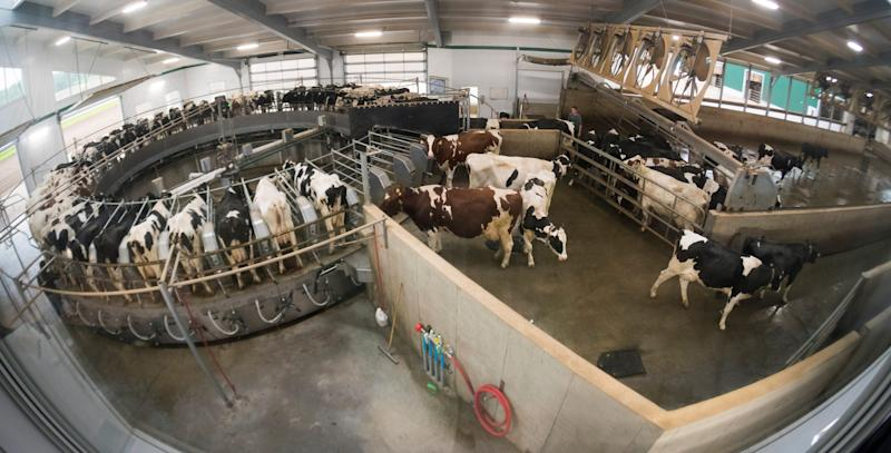 Cows exit the milking carousel on the DeBeer family farm in Mount Elgin, Ontario. It takes about 12 minutes to milk each cow. The family milks about 480 Holsteins.