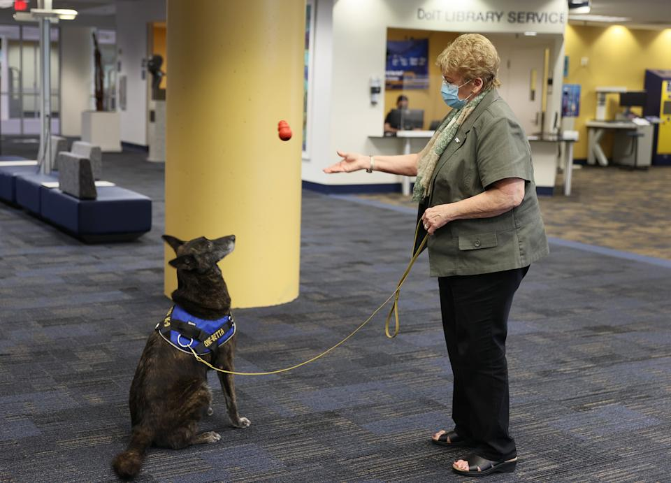 MIAMI, FLORIDA - JANUARY 27: DeEtta Mills,  Director of the International University's International Forensic Research Institute, tosses a chew toy to One-Betta, a COVID-19 sniffing Dutch Shepard, on the Florida International University campus on January 27, 2021 in Miami, Florida.  One-Betta is one of four dogs who were trained by Florida International University's International Forensic Research Institute. The school plans on using the dogs to detect COVID-19 on campus as well as at the Florida State Capitol.  The dogs, who will work on campus during the spring semester to try to control the spread of coronavirus at the school, have been trained to detect coronavirus odors first in a controlled lab environment and then in larger spaces such as class rooms auditoriums, computer labs and libraries.  (Photo by Joe Raedle/Getty Images)