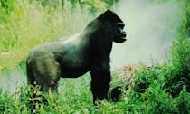 <p>The largest of the gorilla subspecies has declined in number by 50% since the 1990s. (Photo: WWF) </p>