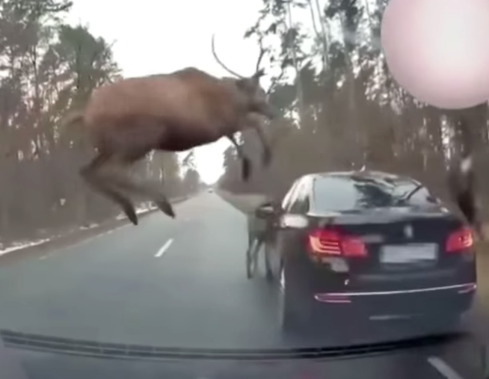 A deer leaps over a BMW.