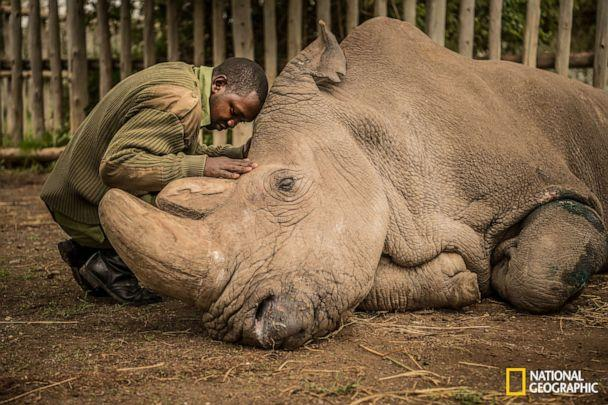 PHOTO: A wildlife ranger comforts Sudan, the last male Northern White Rhino on the planet moments before he passed away. (Ami Vitale/National Geographic)