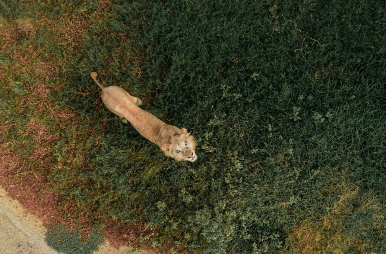 <p>An inquisitive lion gazes up at the sky. (Bachirm/Dronestgram) </p>