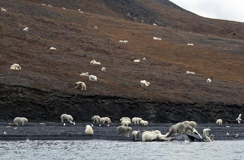 """Studies show that polar bears now spend longer on Wrangel Island, in the far eastern Russian Arctic, than 20 years ago because """"ice is melting earlier and the ice-free period is longer,"""" said American scientist Eric Regehr, of the University of Washington (AFP Photo/Max STEPHENSON)"""