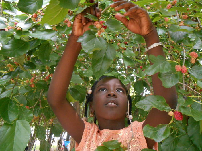 In this photo provided by Ginny Hughes, a member of the Troy Kids' Garden Learning Community searches for ripe mulberries in the Kids' Garden at Troy Gardens in Madison, Wis. (Ginny Hughes via AP)