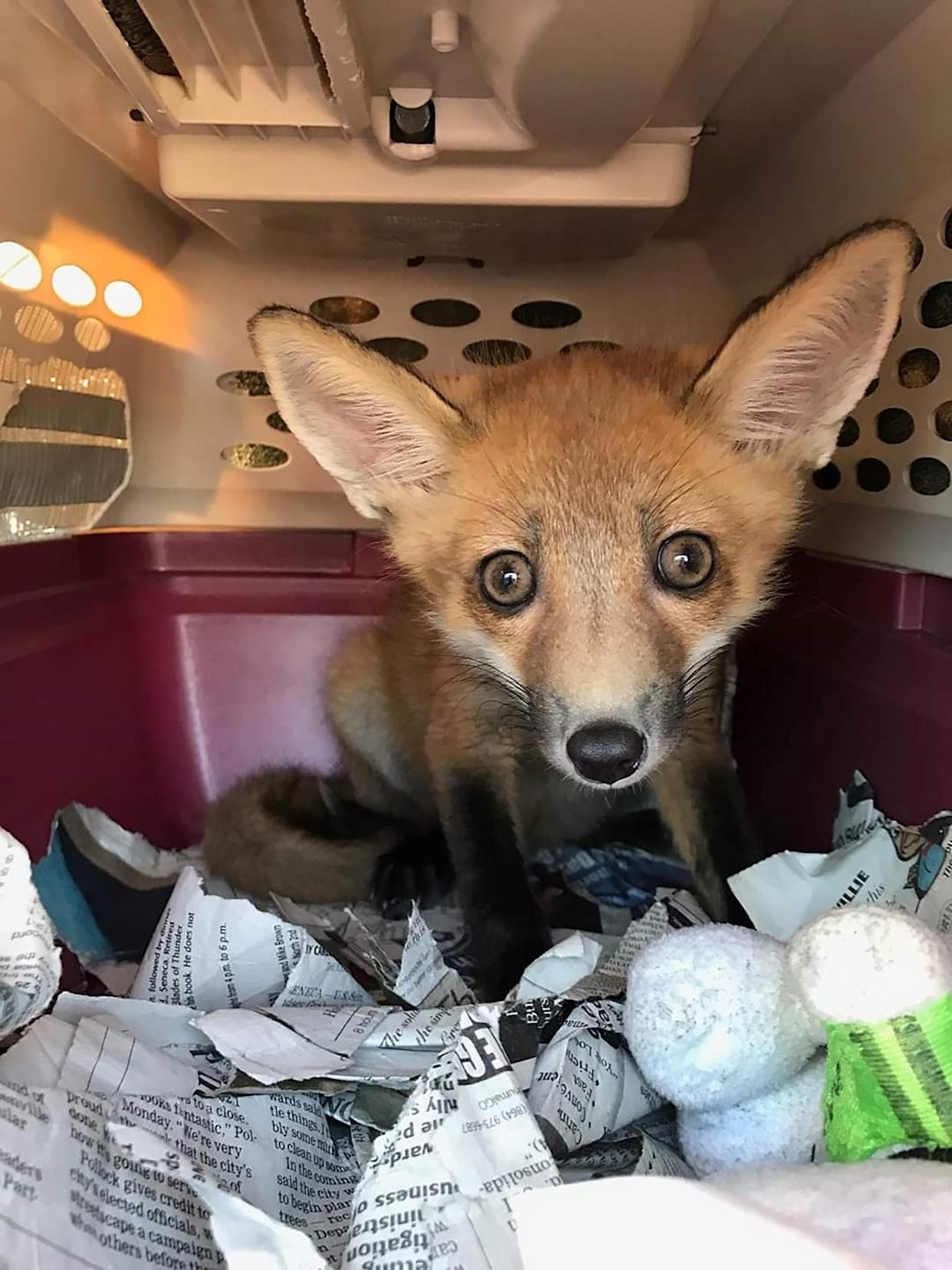 An injured fox that was rescued in 2017. (via Wildlife Resources and Education Network via The New York Times)