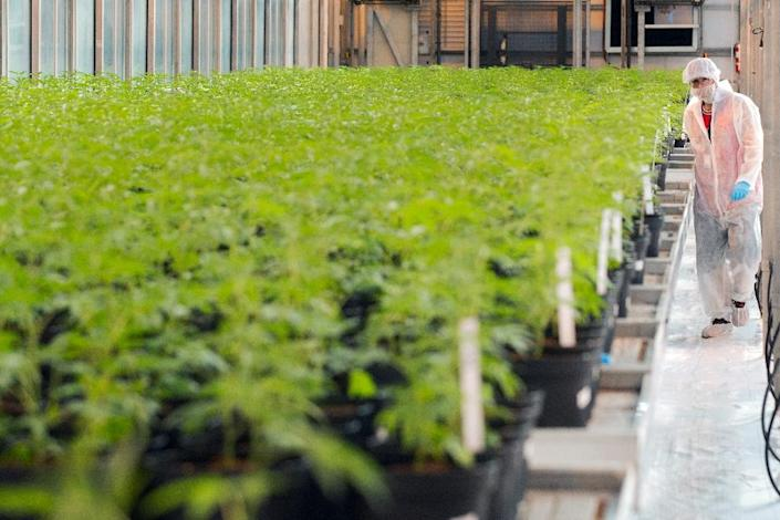 Marijuana plants at a greenhouse operated by cannabis producer UP in Lincoln, Canada (AFP Photo/Lars Hagberg)