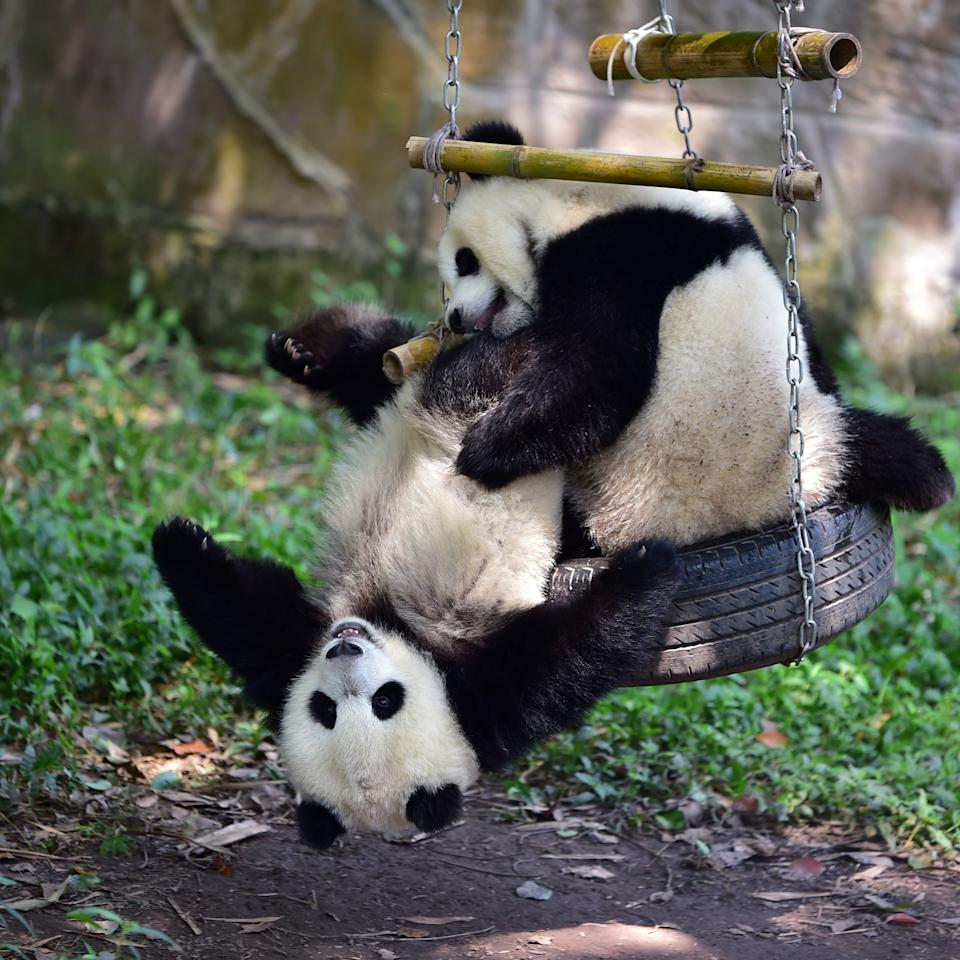 <p>Twin giant pandas brother Yu Bao and younger sister Yu Bei play during their 1-year-old birthday party at Chongqing Zoo (Getty Images) </p>