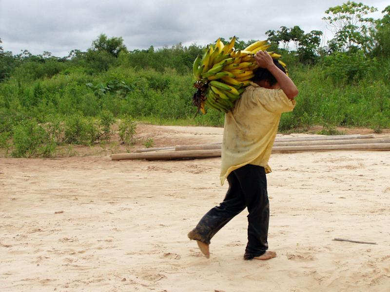 A Tsimane man carried bananas, among a group of indigenous people with a traditional lifestyle deep in the Bolivian Amazon, and according to a new study released Friday March 17, 2017, they have some of the healthiest hearts on the planet, according to Dr. Randall Thompson, a cardiologist at St. Luke's Health System in Kansas City, Missouri, USA. Scientists say the new findings underline the significance of lowering the traditional risk factors for heart disease, and like the Tsimane people, we should be physically active and have a low fat, low sugar diet. (Michael Gurven/St. Luke's Health System Kansas City via AP)