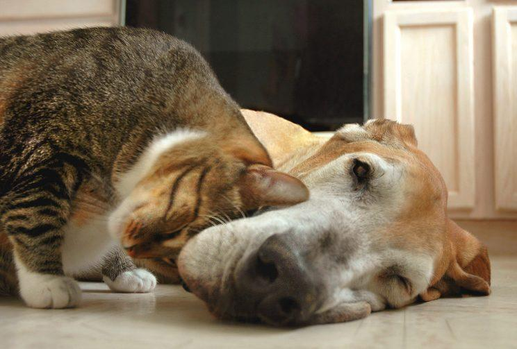 Tabby cat rubbing his head affectionately on sleepy fawn great dane. (Photo: Getty Images)