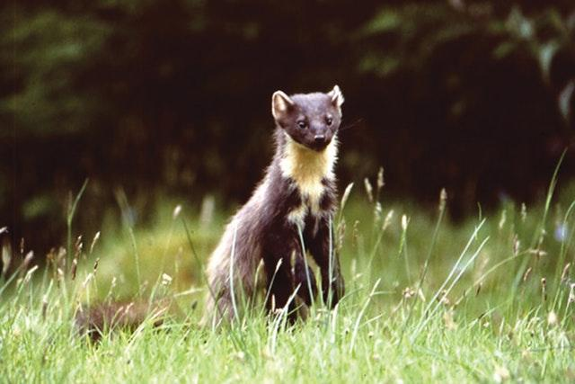 Pine martens to be reintroduced