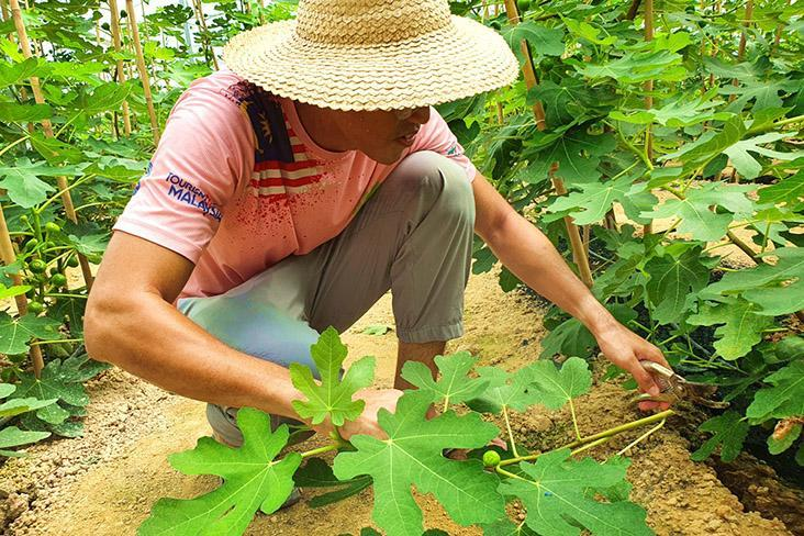 Building a farm from scratch and planting an unfamiliar fruit such as figs is a challenge.