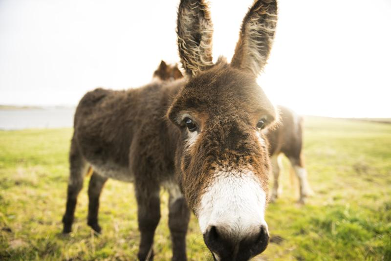 nose, curious, donkey, field, pony, countryside, nature, outdoors, west of ireland, portrait