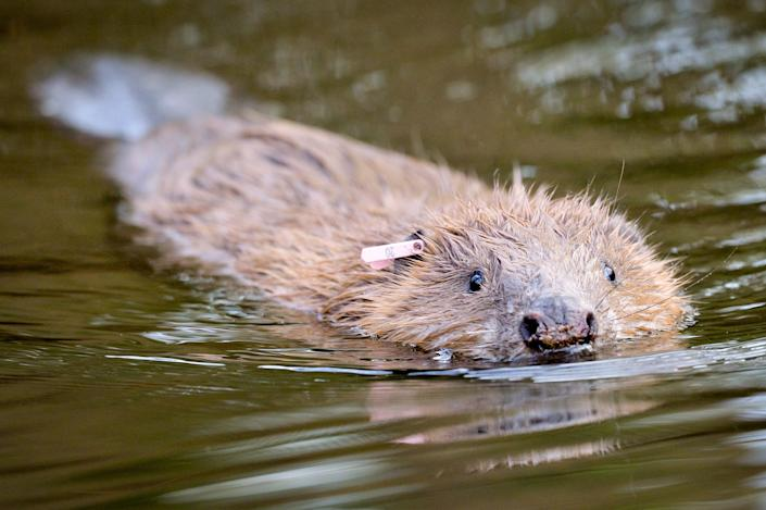 Beavers, which have been reintroduced in recent years after being hunted to extinction by the 1600s, are endangered in Britain. (PA)