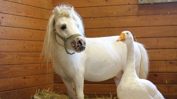 PHOTO: Waffles, a miniature horse, and Hemingway, a goose, are best friends who will be adopted together from the Bucks County SPCA in Bucks County, Pa. (Courtesy Bucks County SPCA)