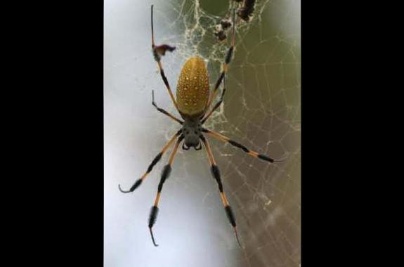A female Nephila clavipes (golden orb spider) in her web.