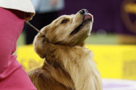 Daniel, the golden retriever, wins the sporting group during 144th Westminster Kennel Club dog show, Tuesday, Feb. 11, 2020, in New York. (AP Photo/John Minchillo)