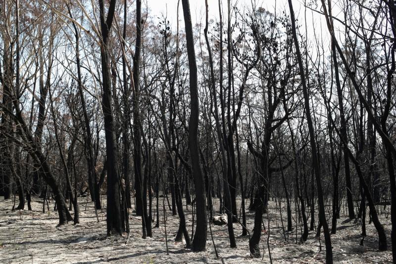 FILE PHOTO: Charred trees are pictured in a patch of forest burnt during the recent bushfires near Batemans Bay