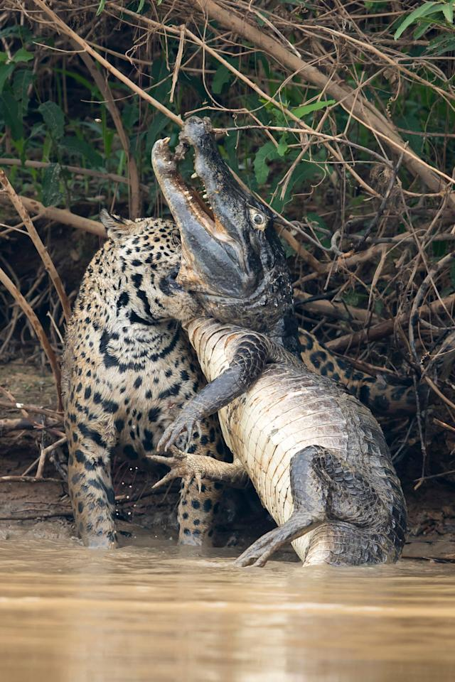 Caimans form a large part of the jaguar's diet in the Pantanal but battles such as this are very rarely observed and seldom photographed.