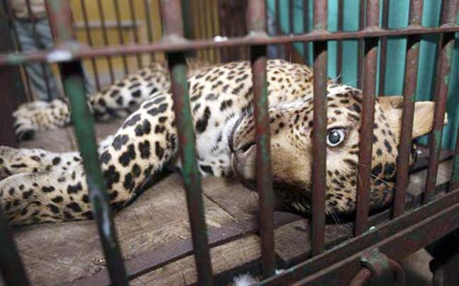<p>The populations of several species of fauna - including leopards - have been growing at the Jhalana leopard safari. So what to make of a mysterious leopard death?</p>