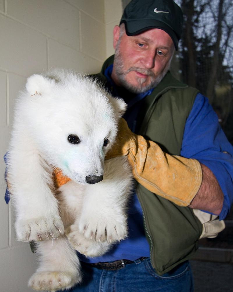 FILE - In this May 1, 2011 file photo provided by the Alaska Zoo, an orphaned polar bear cub rescued last week at an Alaska oil field is carried by Alaska Zoo director Pat Lampi at the zoo in Anchorage, Alaska. The cub is thriving at the Alaska Zoo but federal wildlife officials said Wednesday, May 25, 2011, they briefly considered trying to reunite the wild tyke with its mother after the adult bear was spotted on sea ice of the state's northern coast. (AP Photo/Alaska Zoo, John Gomes, File)