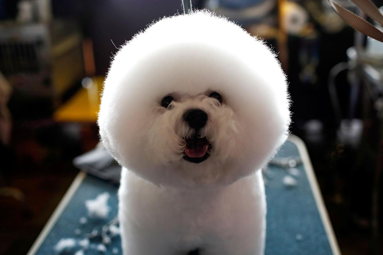 <p>A Bichon Frise stands on a grooming table in the benching area before competition at the 141st Westminster Kennel Club Dog Show in New York City, February 13, 2017. (Mike Segar/Reuters) </p>