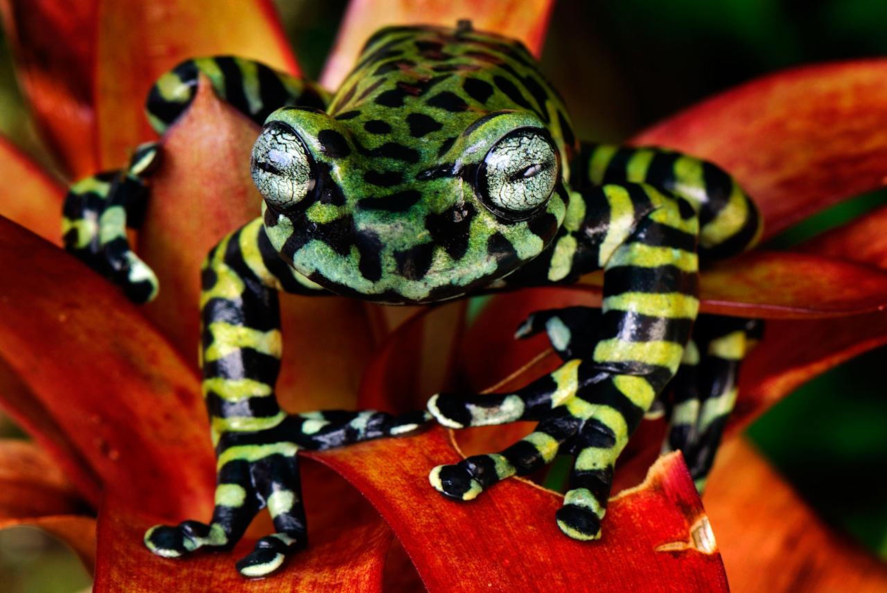 A tiger's treefrog from Colombia (Caters)