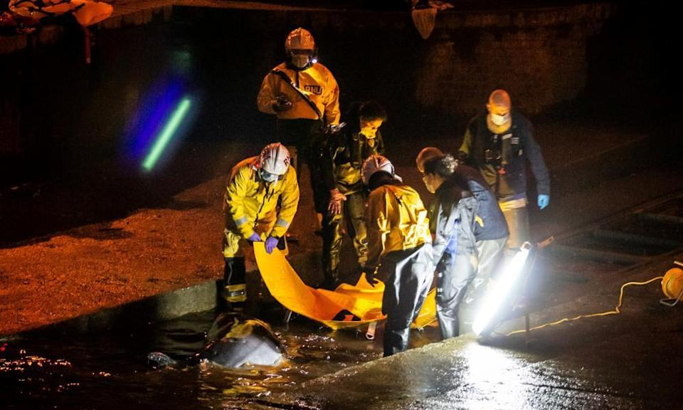 Rescuers work to save a small whale stranded in the Thames.