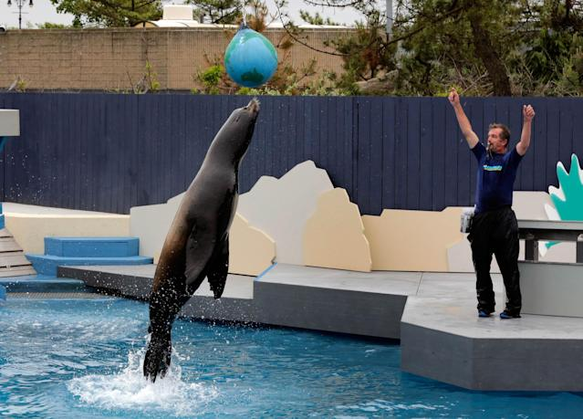 FILE - In this file photo of May 24, 2013, sea lion Osborne performs with trainer Guenter Skammel during a preview of the sea lion show at the New York Aquarium in the Coney Island section of the Brooklyn borough of New York. Eight months after Superstorm Sandy hit New York City, Coney Island's aquarium, rides, eateries and beach are getting plenty of visitors, and there are even a few new attractions like a carousel and a store for fans of the Nets basektball team. (AP Photo/Richard Drew, file)