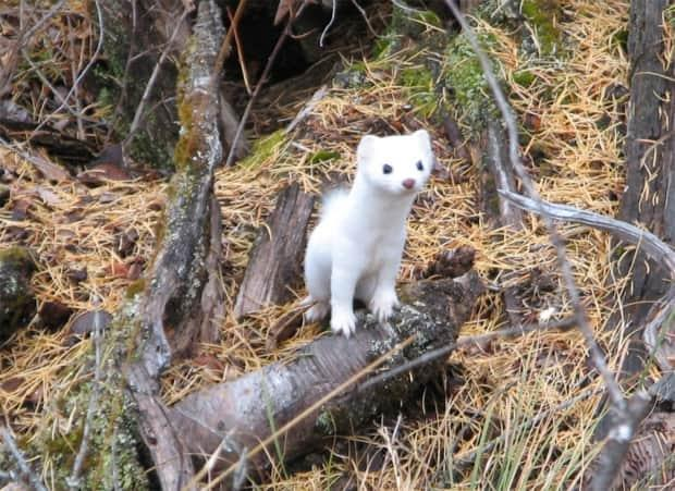 This weasel-like creature known as the Haida ermine can only be found in Haida Gwaii and the Prince of Wales Island in Southeast Alaska. By examining the mammal's DNA and skull, scientists discovered that the mammal is a hybrid between ermines found in North America and throughout Eurasia.  (Forest Service Northern Region - image credit)