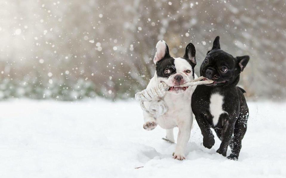 <p>Most dogs definitely don't mind a little bit of snowfall—in fact, they might actually love it! These two dogs look like they're having the time of their lives running through the snow with their chew toy. </p>
