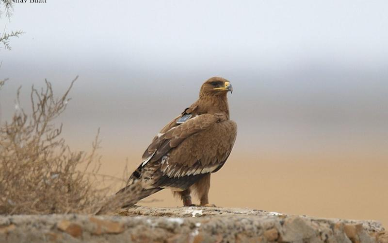 The steppe eagle named Min, seen here in India last year, wears a GPS tracker that texts his coordinates to scientists - Nirav Bhatt/Facebook