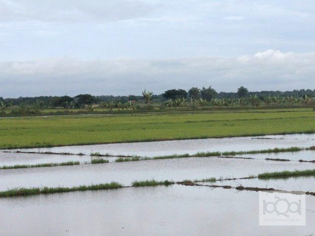 Agriculture sector grows to P700B in first half of 2011