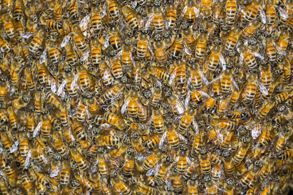 The woman was stung by Africanised bees (pictured), which are said to be more aggressive than regular European bees. File pic. Source: Getty Images
