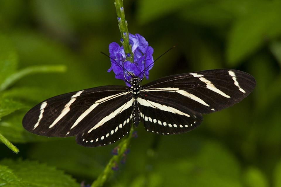 <p><strong>Zebra Longwing</strong></p><p>Florida picked this aptly named state bug in 1996. <strong><br></strong></p>