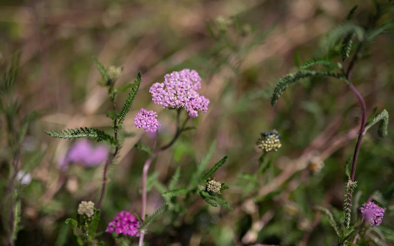 The 10 best all-weather perennials - including the verbena bonariensis - Christopher Pledger