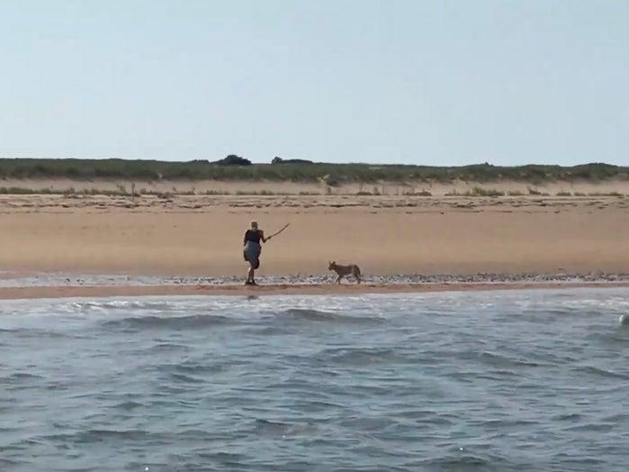 Marcy Sterlis swings a stick at a coyote menacing her on a Massachusetts beach. (screengrab)