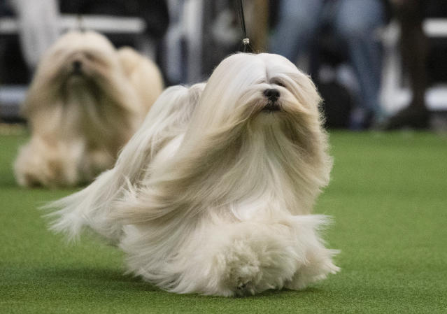 Lhasa Apso's compete during the 144th Westminster Kennel Club dog show, Monday, Feb. 10, 2020, in New York. (AP Photo/Mark Lennihan)