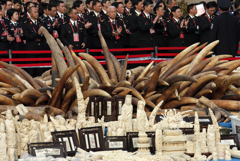 Customs officers attend a ceremony before destroying illegal ivory in Dongguan, southern Guangdong province, China Monday, Jan. 6, 2014. China destroyed about 6 tons of illegal ivory from its stockpile on Monday, in an unprecedented move wildlife groups say shows growing concern about the black market trade by authorities in the world's biggest market for elephant tusks. (AP Photo/Vincent Yu)