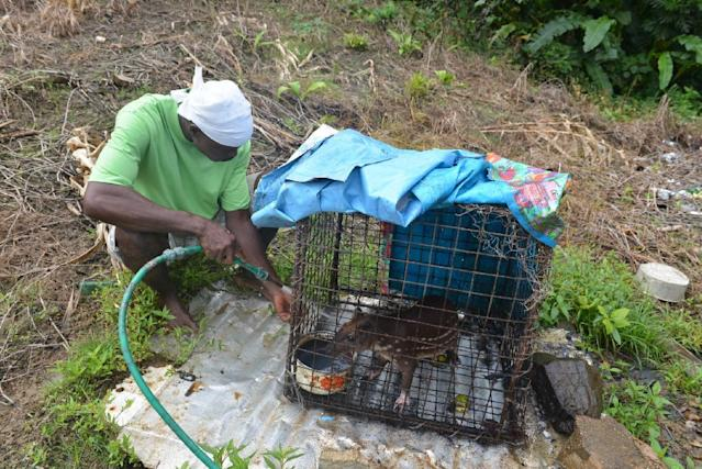 In this Dec. 27, 2013 photo, a poacher cleans the cage of his trapped lappe, a raccoon-sized rodents whose meat is known to go for $19 per pound, in the rural village of Toco in northern Trinidad. The twin-island country of Trinidad and Tobago, at least on paper, has transformed the Caribbean nation into a no-trapping, no-hunting zone for about two years to give overexploited game animals some breathing room and to conduct wildlife surveys. But poachers are continuing to hunt creatures such as deer, armadillo and lappe. (AP Photo/David McFadden)