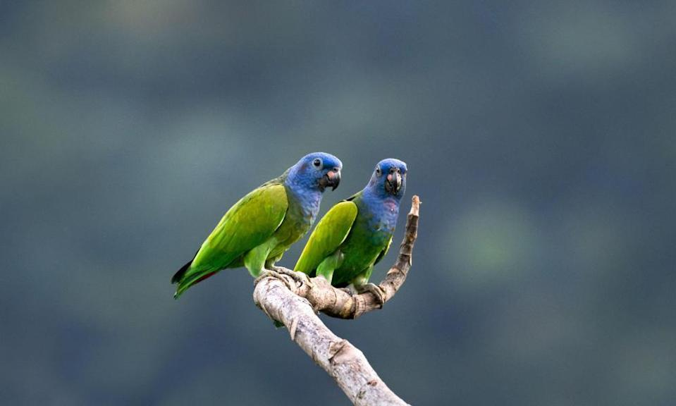 Blue-headed Parrots perching on a lone branch.